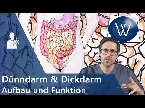 Wieviel Charme steckt im Darm? Anatomie, Funktion & Störungen von Dünndarm und Dickdarm (Kolon)